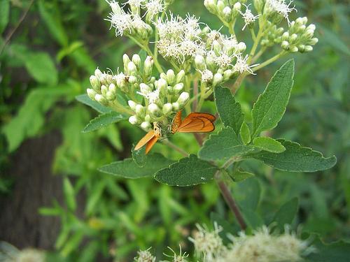 Chilca plant
