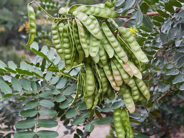 Tara bean